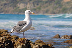 Seagull Perched on Barnacles Royalty Free Stock Photography