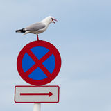 Seagull perched beak open on no stopping roadsign Stock Image