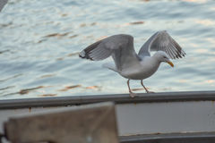 Seagull. Perched on a boat side waiting front scraps of fish stock photography