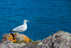 A seagull perched on dark grey rocks covered in lichens looks of Stock Photo