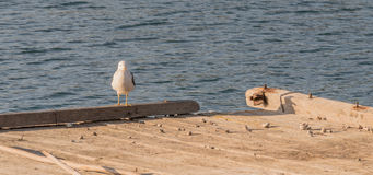 Seagull perched on the end of a floating pier Royalty Free Stock Images
