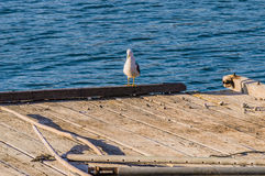 Seagull perched on the end of a floating pier Stock Image