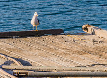 Seagull perched on the end of a floating pier Stock Images