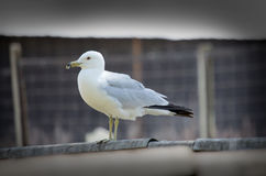 Seagull perched on a fence Stock Images