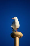 Seagull perched on ferry mast against blue sky. Single seagull hitches a ride on the city ferry - against blue sky Royalty Free Stock Images