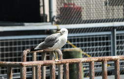 Seagull perched on iron railings Stock Images