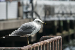 Seagull perched on iron railings Stock Photography