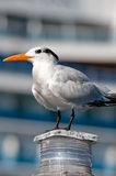 Seagull perched on light Royalty Free Stock Photo