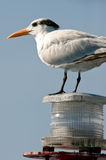 Seagull perched on light Royalty Free Stock Images