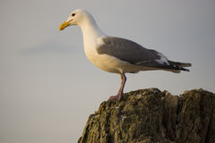Seagull perched on a log Stock Image