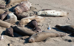 Seagull perched on Northern Elephant Seal at the Piedras Blancas Elephant Seal colony on the Central Coast of California Stock Photography