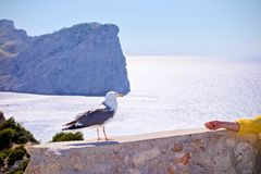 Seagull feeding at Mallorca. Seagull perched on an old stone wall and a arm is feeding it at a Mediterran Sea in the background Stock Photos