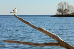 Seagull perched on old tree. Against lake Ontario Stock Photos