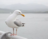 Seagull perched on a pier Royalty Free Stock Photos