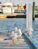 Seagull perched at the pier at Raymond Island royalty free stock photos