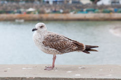 Seagull perched on port Royalty Free Stock Images