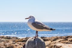 A Seagull Perched on a Post stock image
