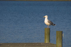 Seagull perched on pylon Royalty Free Stock Photo