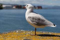 Seagull perched. Royalty Free Stock Photo