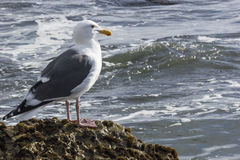 Seagull. A seagull perched on a rock Royalty Free Stock Photo