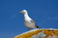 Seagull perched  in a rock Royalty Free Stock Photo