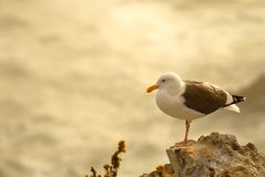 Seagull perched on rocks overlooking ocean in Pismo Beach Califo Royalty Free Stock Photos