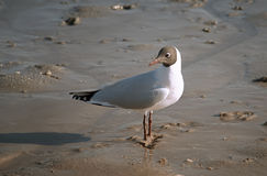 Seagull perched on the sand Royalty Free Stock Photography