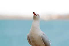 A seagull perched by the sea in Australia. A seagull perched above a harbour on a wall in Townsville, Australia, with the horizon and sea in the background. A Stock Photos