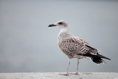 Seagull perched by the sea Stock Photo