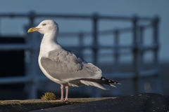 Seagull. Perched on a wall at Whitby Harbour royalty free stock photography
