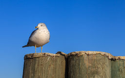 Seagull Perched Royalty Free Stock Photography