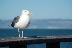 A seagull is perched on a wooden fence. A seagull is perched on a wooden fence near the shore Royalty Free Stock Photo