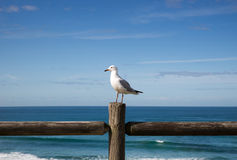 Seagull perched on a wooden fence against an ocean view Stock Image