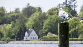 Seagull perched on a wooden pole, gazing over the water Royalty Free Stock Photography