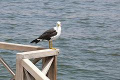 Seagull perching on a railing at south of Lima Stock Photo