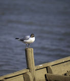 Seagull perching Stock Image