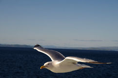 A Seagull. A photo of a seagull in Scotland royalty free stock photos