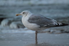 Seagull. Photo of Seabird at Baltic sea Stock Image