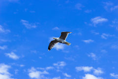 A seagull. Photo of a seagull taken at the Aberdeen Harbour approaches in Scotland. Gulls or seagulls are seabirds of the family Laridae in the suborder Lari Royalty Free Stock Image
