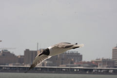 Seagull. Photographed on the Galveston Island ferry Stock Images