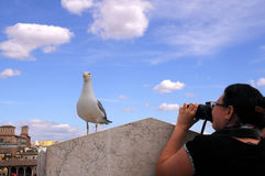Seagull and Photographer Stock Image