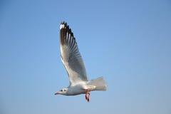 Seagull piękny Obraz Royalty Free