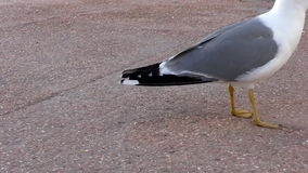 Seagull picking eating crumbs close up. Seagull comes very close to camera to pick up bread crumbs from the concrete floor stock video