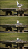 Seagull on picnic table collage Stock Images