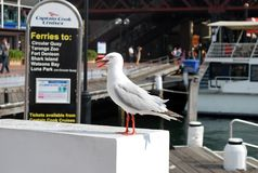 Seagull pictured near Captain Cook Cruises dock at Darling Harbour, with the ferry in the background ready for tourist entrance. stock photo