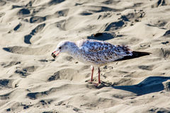 Seagull with a piece of bread Royalty Free Stock Image