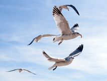Seagull with a piece of food in the sky Stock Images