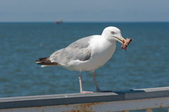 Seagull with a piece of meat. Seagull with a piece of meat on the pier Stock Photography