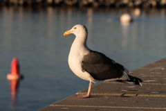 Seagull at the pier Stock Images