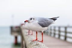 Seagull at Pier Handrail Stock Photos